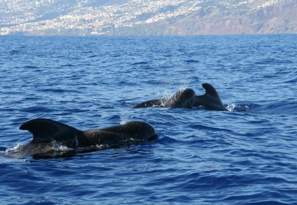 Portugal Madeira Hotel Galosol Whale Watching